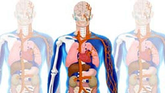 Körperkompass - Bild: schematische Zeichnung des Körperkompasses - ein durchsichtiger Mensch, bei dem Sie die Organe erkennen können.